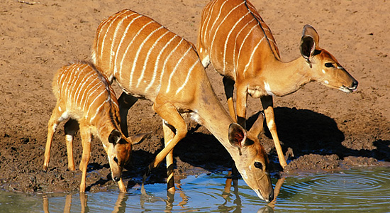 Nyala Kumasinga Hide Mkuze Reservations uMkhuze Game Reserve Mkuze Mkhuze Wildlife Safari South Africa